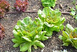 Freckles Romaine Lettuce (Lactuca sativa var. longifolia 'Freckles') at Roger's Gardens