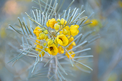 Feathery Cassia (Senna artemisioides) at Roger's Gardens