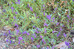 Mini Haha Dwarf Purple Vine Lilac (Hardenbergia violacea 'Mini Haha') at Roger's Gardens