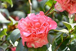 Cleopatra Camellia (Camellia sasanqua 'Cleopatra') at Roger's Gardens