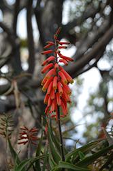 Climbing Aloe (Aloe ciliaris) at Roger's Gardens