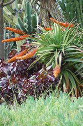 Khuzi (Aloe mawii) at Roger's Gardens