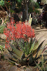 Dwala Aloe (Aloe chabaudii) at Roger's Gardens
