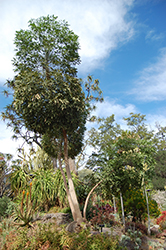 Cabbage Tree (Cussonia spicata) at Roger's Gardens