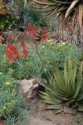 Aloe debrana (Aloe debrana) at Roger's Gardens