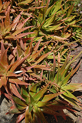 Cynthia Giddy Aloe (Aloe 'Cynthia Giddy') at Roger's Gardens