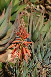 Blue Aloe (Aloe glauca) at Roger's Gardens