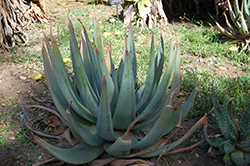 Reitz's Aloe (Aloe reitzii) at Roger's Gardens