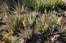 Johnson's Hybrid Aloe (Aloe 'Johnson's Hybrid') at Roger's Gardens