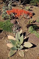 Coral Aloe (Aloe striata) at Roger's Gardens