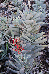Airplane Plant (Crassula perfoliata var. falcata) at Roger's Gardens