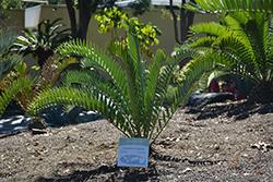 Long-leaved Cycad (Encephalartos longifolius) at Roger's Gardens