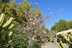 Baja Spurge (Euphorbia xantii) at Roger's Gardens