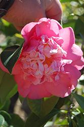 Chandleri Elegans Variegated Camellia (Camellia japonica 'Chandleri Elegans Variegated') at Roger's Gardens