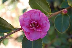 Chansonette Camellia (Camellia sasanqua 'Chansonette') at Roger's Gardens