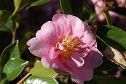 Showa-No-Sakae Camellia (Camellia sasanqua 'Showa-No-Sakae') at Roger's Gardens