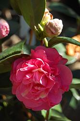 Carter's Sunburst Pink Variegated Camellia (Camellia japonica 'Carter's Sunburst Pink Variegated') at Roger's Gardens