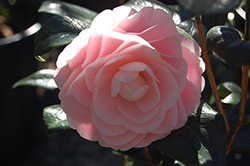 Pink Perfection Camellia (Camellia japonica 'Pink Perfection') at Roger's Gardens
