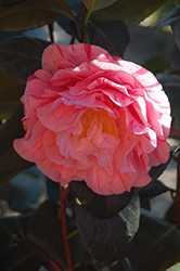 Carter's Sunburst Camellia (Camellia japonica 'Carter's Sunburst') at Roger's Gardens
