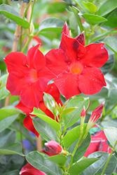 Sun Parasol Dark Red Mandevilla (Mandevilla 'Sun Parasol Dark Red') at Roger's Gardens