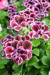 Elegance Imperial Geranium (Pelargonium 'Elegance Imperial') at Roger's Gardens