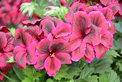 Elegance Burgundy Geranium (Pelargonium 'Elegance Burgundy') at Roger's Gardens