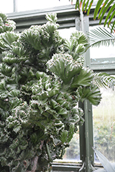 Crested Elkhorn (Euphorbia lactea 'Cristata') at Roger's Gardens