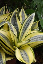 Golden Hahnii Snake Plant (Sansevieria trifasciata 'Golden Hahnii') at Roger's Gardens