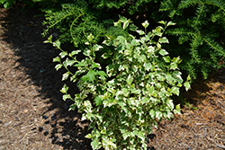 Sugar Tip Gold Rose of Sharon (Hibiscus syriacus 'THEISSHSSTL') at Roger's Gardens