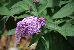 Pugster Amethyst Butterfly Bush (Buddleia 'SMNBDL') at Roger's Gardens