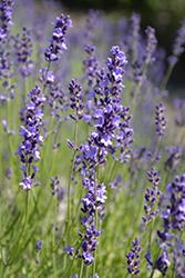Provence Blue Lavender (Lavandula angustifolia 'Provence Blue') at Roger's Gardens