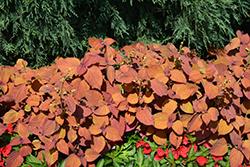 ColorBlaze Keystone Kopper Coleus (Solenostemon scutellarioides 'Keystone Kopper') at Roger's Gardens