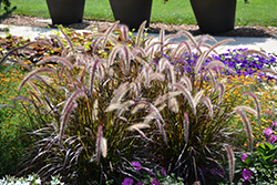 Red Riding Hood Purple Fountain Grass (Pennisetum setaceum 'Red Riding Hood') at Roger's Gardens