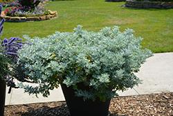 Quicksilver Dusty Miller (Artemisia stelleriana 'Quicksilver') at Roger's Gardens