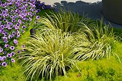 Grassy-Leaved Sweet Flag (Acorus gramineus 'Ogon') at Roger's Gardens
