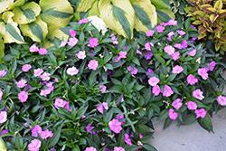 SunPatiens Compact Orchid New Guinea Impatiens (Impatiens 'SAKIMP041') at Roger's Gardens
