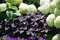 ColorBlaze Dark Star Coleus (Solenostemon scutellarioides 'Dark Star') at Roger's Gardens