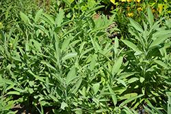Common Sage (Salvia officinalis) at Roger's Gardens