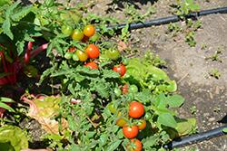 Homegrown Cherry Tomato (Solanum lycopersicum 'Homegrown Cherry') at Roger's Gardens