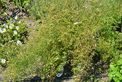 Slow Bolt Cilantro (Coriandrum sativum 'Slow Bolt') at Roger's Gardens