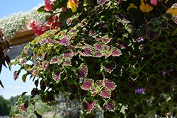 ColorBlaze Chocolate Drop Coleus (Solenostemon scutellarioides 'Kakegawa CE2') at Roger's Gardens