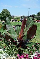 Red Banana (Ensete ventricosum 'Maurelii') at Roger's Gardens