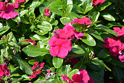 Cora Cascade Magenta Vinca (Catharanthus roseus 'Cora Cascade Magenta') at Roger's Gardens