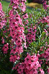 Angelface Perfectly Pink Angelonia (Angelonia angustifolia 'Balang15434') at Roger's Gardens