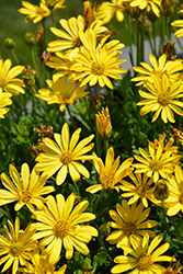 Bright Lights Yellow African Daisy (Osteospermum 'Bright Lights Yellow') at Roger's Gardens