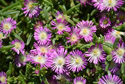 Button Up Violet Ice Plant (Delosperma 'WOWDRW5') at Roger's Gardens