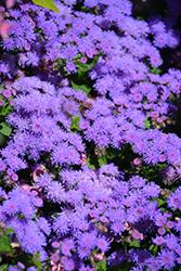 Artist Blue Flossflower (Ageratum 'Agsantis') at Roger's Gardens