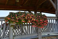 San Francisco Begonia (Begonia boliviensis 'San Francisco') at Roger's Gardens
