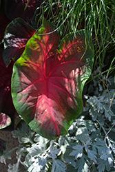 Artful Heartfire Caladium (Caladium 'UF-18-49') at Roger's Gardens