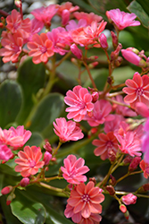Jewels Coral Bitteroot (Lewisia 'Jewels Coral') at Roger's Gardens